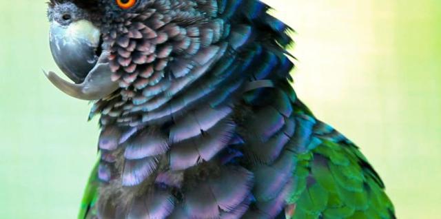 a18f5666e45917f45415dc1d91ff993c_vindien_Dominica-Sisserou-Parrot-4-863-430-c