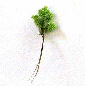 Azolla-planten-22.jpg